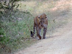 sri lanka leopard 300x225 - Talking about Holidays and Travel for IELTS