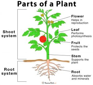 parts of a plant [ielts vocabulary]